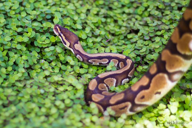 Azdaha Snake