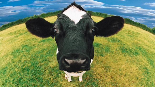 دنیا کی سب سے قیمتی گائے